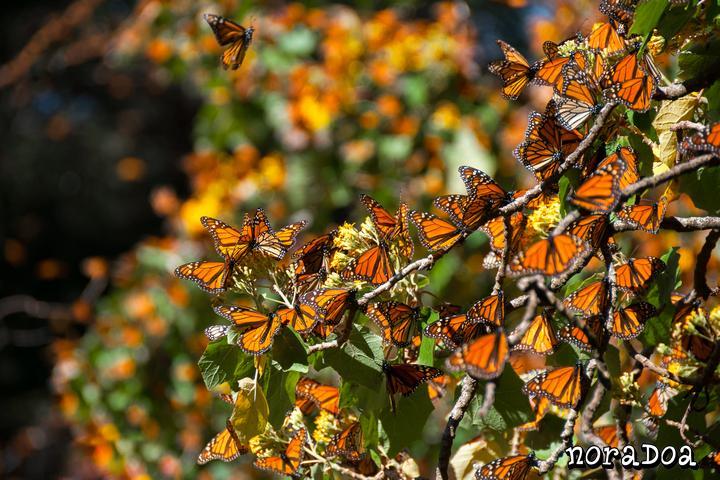 Santuario de la Mariposa Monarca, Michoacán (México)