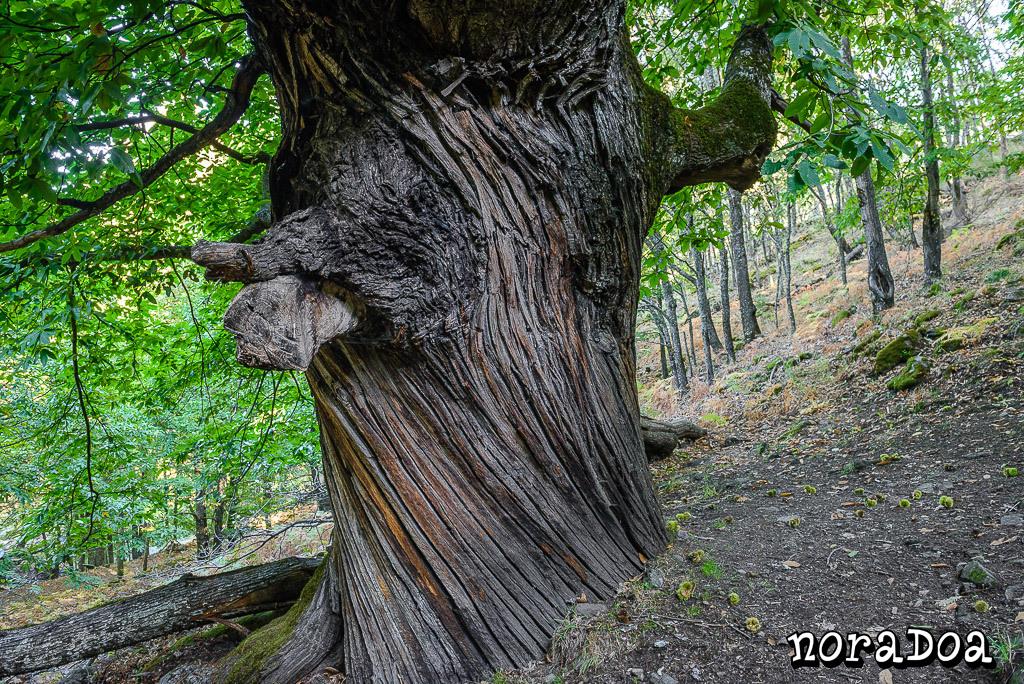 Castaños del Temblar en Segura de Toro, árboles singulares de Extremadura en el valle de Ambroz (Cáceres)
