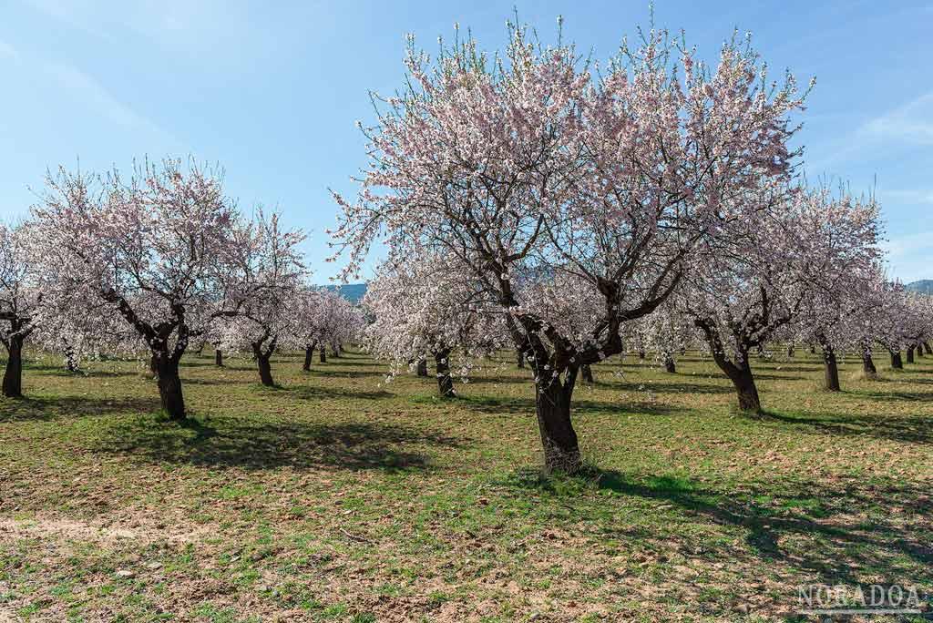 Almendros en flor de Arnedo